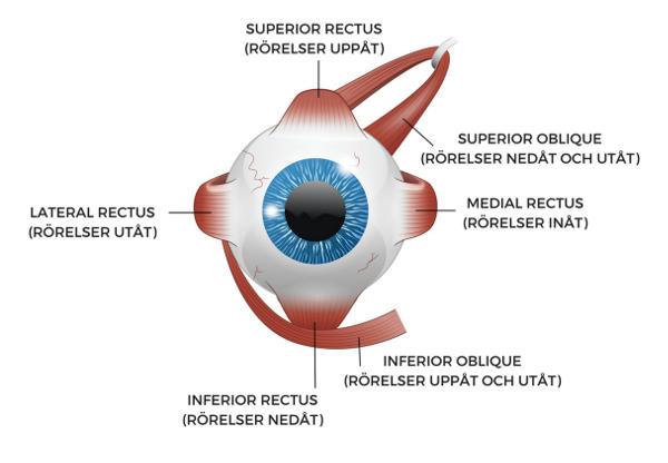 Ögats muskler för att vrida i olika riktningar