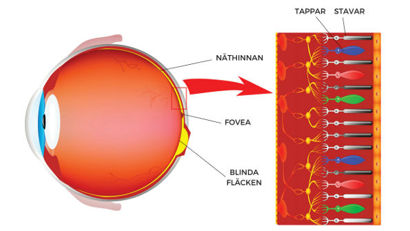 Tappar och stavar som fotoreceptorer i ögat