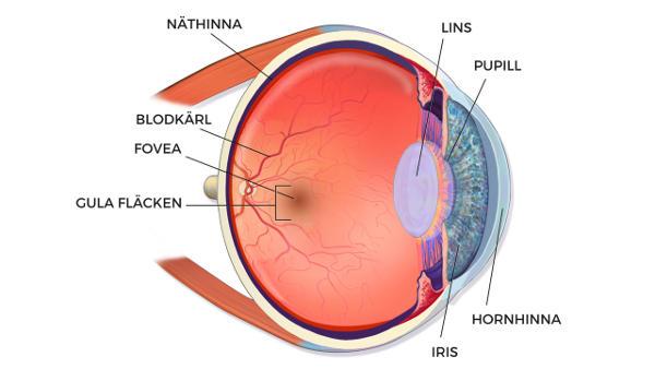 Här sitter gula fläcken i ögat