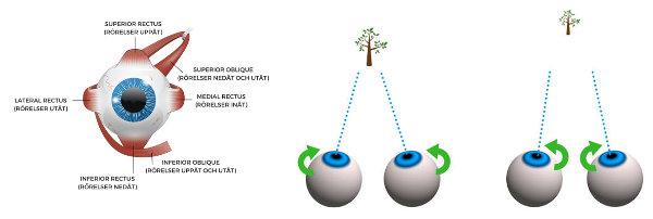 vergenserna och ögats rörelser
